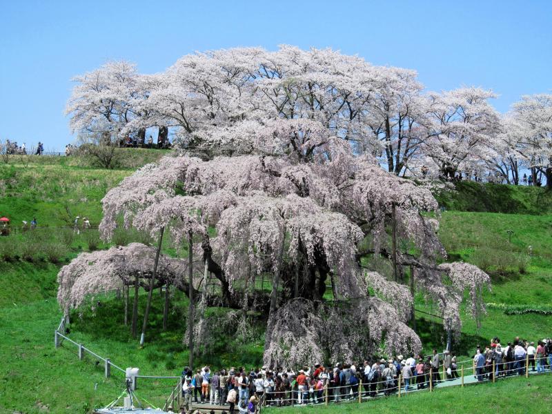 三春滝桜02_convert_20120430125354
