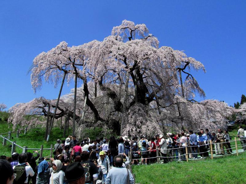 三春滝桜03_convert_20120430125422