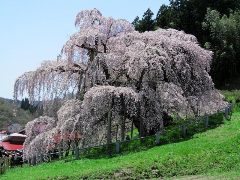 三春滝桜04_convert_20120430125448