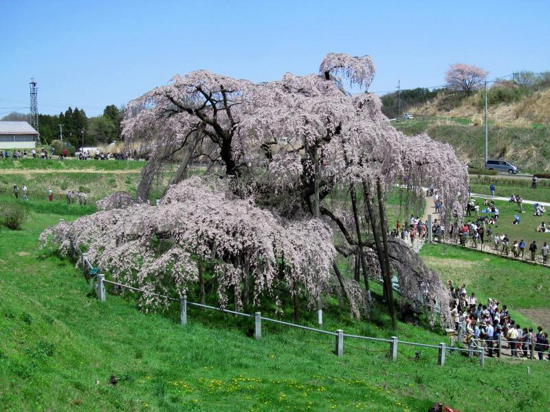 三春滝桜05_convert_20120430125515