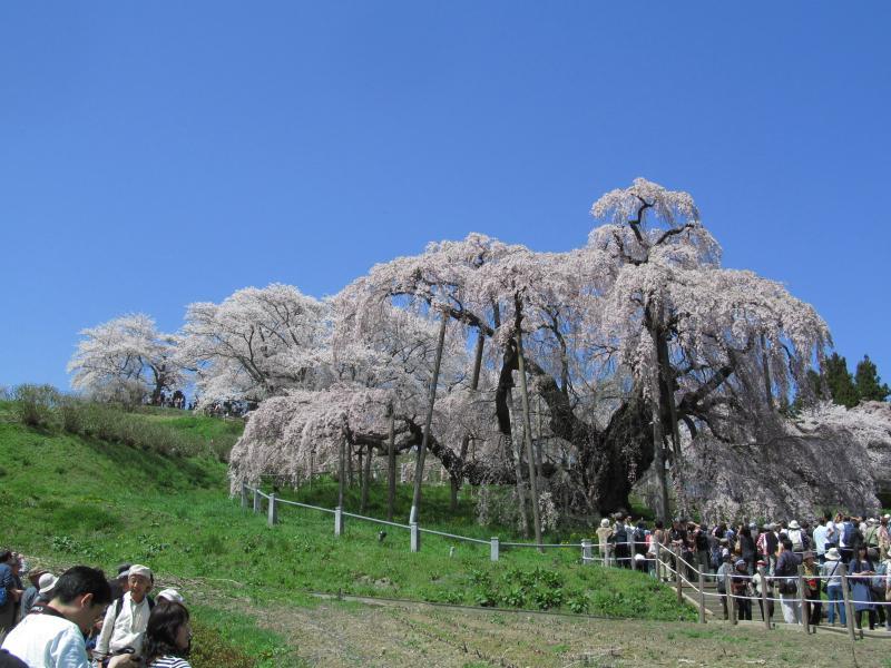 三春滝桜06_convert_20120430125542