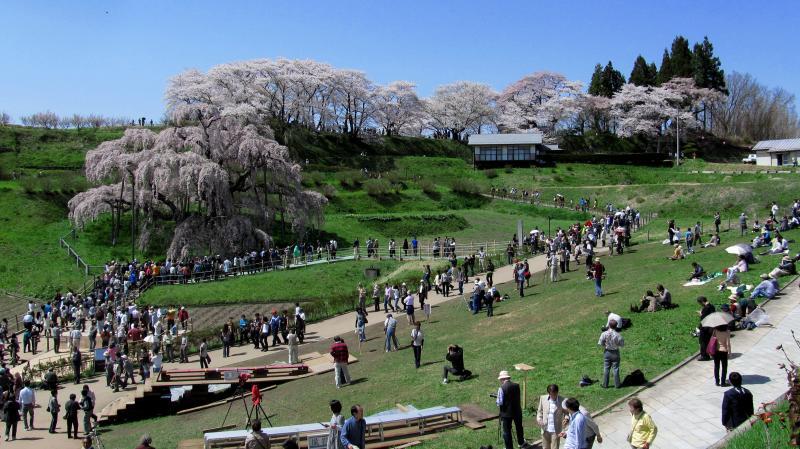 三春滝桜07パノラマ_convert_20120430125635