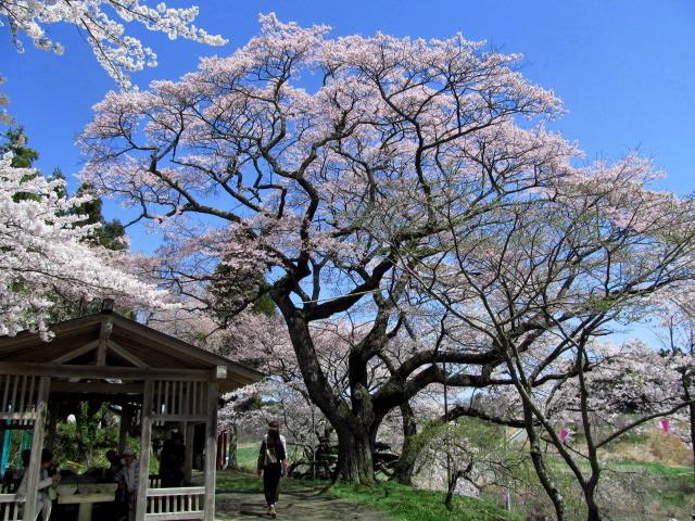 三春滝桜10丘の上03