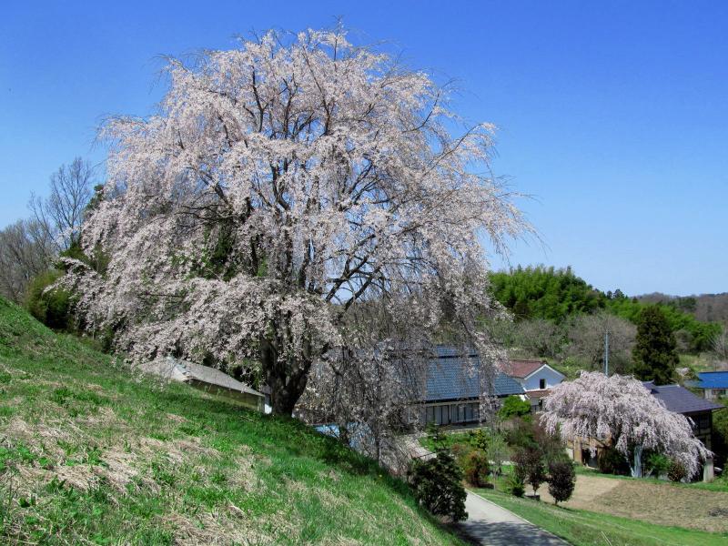 三春滝桜11丘の上04_convert_20120430125907