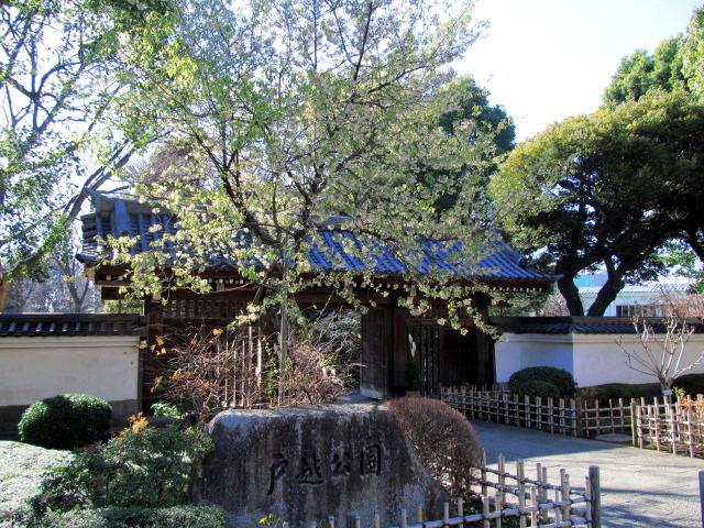 ヒマラヤ桜 001