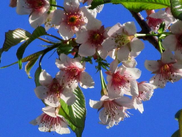 ヒマラヤ桜 003