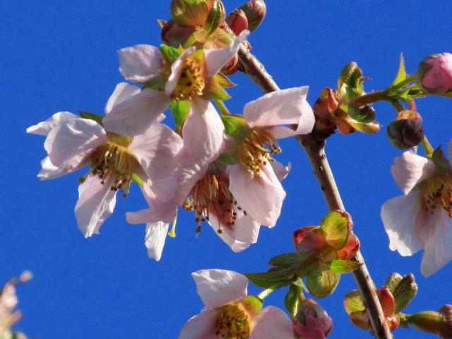 ヒマラヤ桜 004