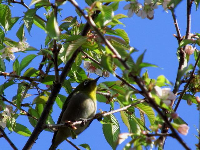 ヒマラヤ桜 005