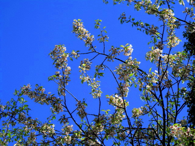 ヒマラヤ桜 002