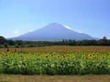 富士山、百日草、ヒマワリ