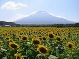 向日葵畑と富士山