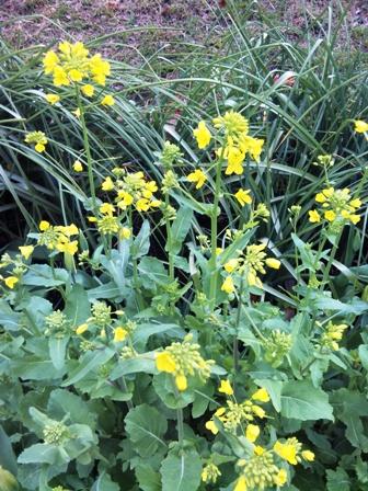 岸根公園 菜の花