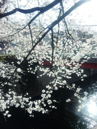 目黒川の桜3