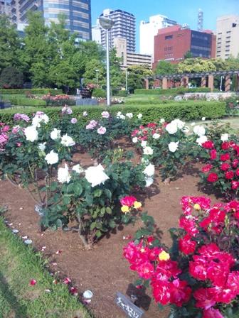 山下公園のバラ2