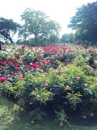 港の見える丘公園のバラ4