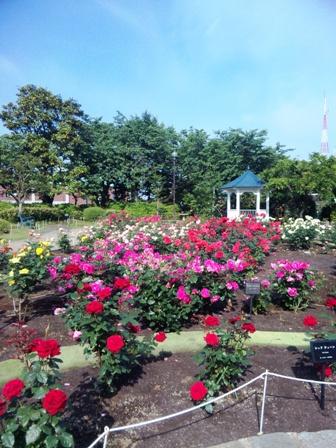 港の見える丘公園のバラ3