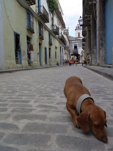 a dog in havana