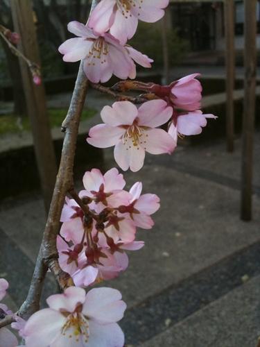 sakura-hana.jpg