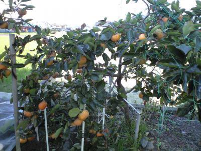 豊作うちの柿
