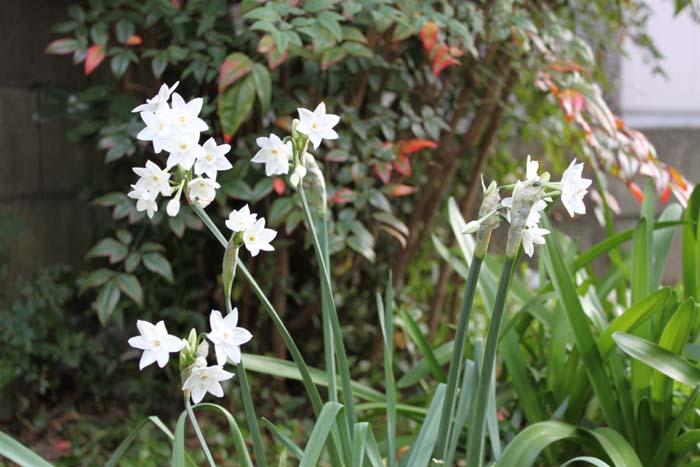 しんちゃんの花