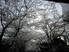 太平山の並木