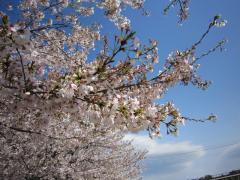 しののめの桜