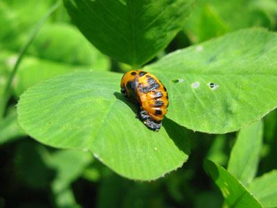 テントウ蛹