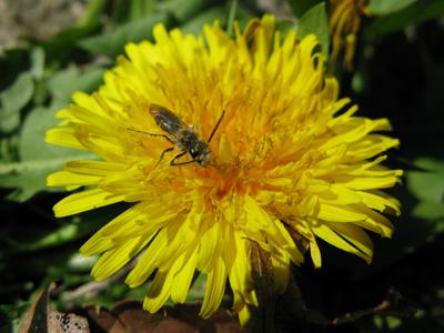 タンポポにハチ