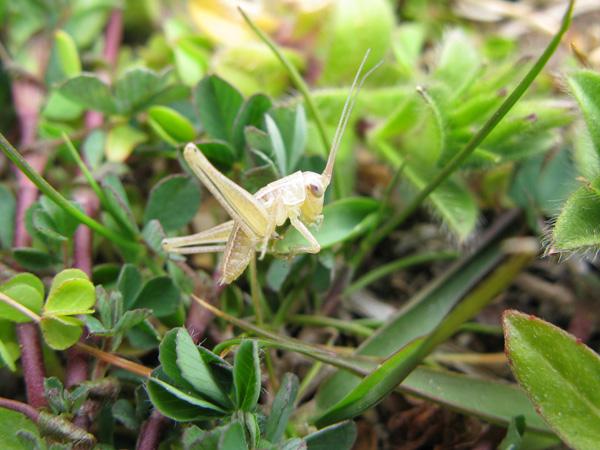 キリギリス幼虫