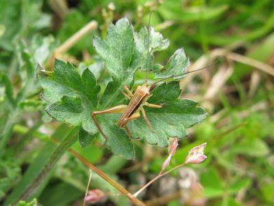 キリギリス幼虫2
