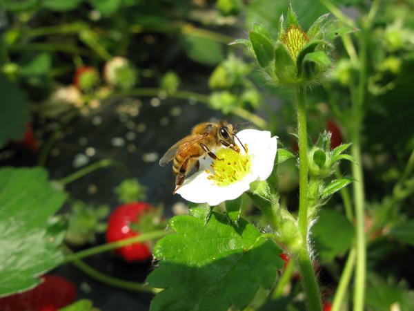 イチゴにミツバチ
