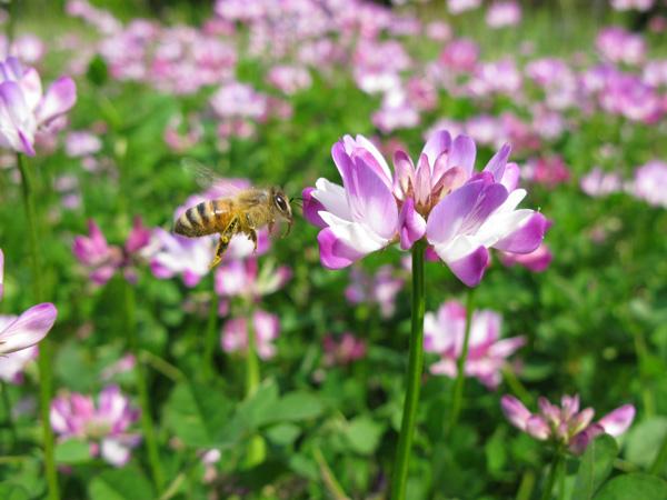 レンゲにミツバチ