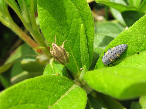 ウズラカメムシとテントウ幼虫
