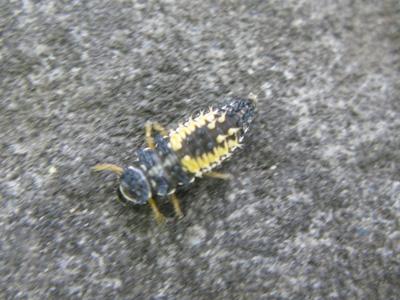 ナミテントウ幼虫