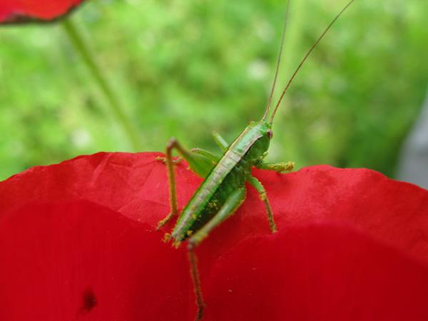 キリギリスの幼虫