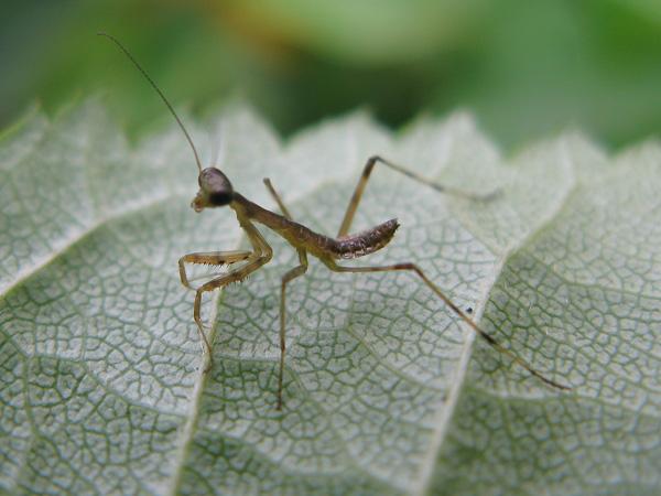 カマキリ幼虫
