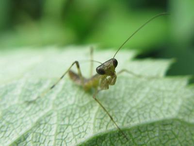 カマキリ幼虫2