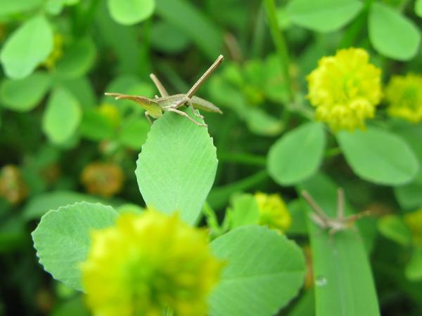 ショウリョウバッタ幼虫1