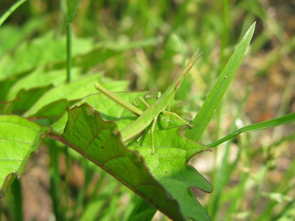 ショウリョウバッタ幼虫2
