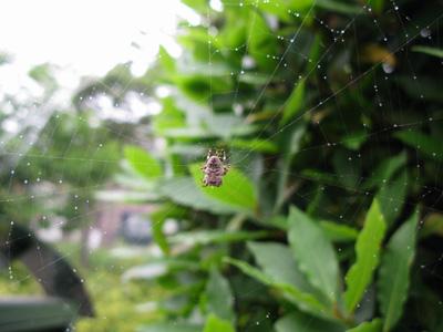 雨の日クモの巣