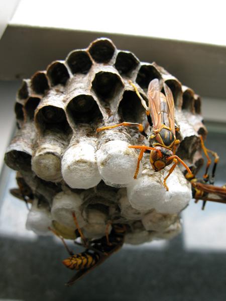 アシナガ巣