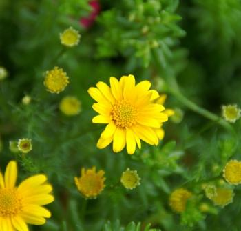 20110505黄色花-3