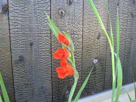 最近のお花たち