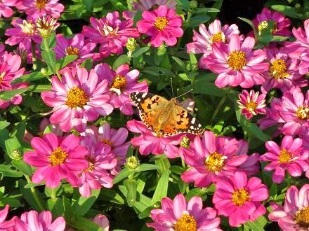 百日草と蝶