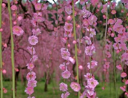 20100301梅の花p1