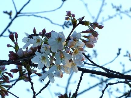 初咲き桜19