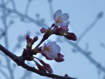 初咲き桜y1