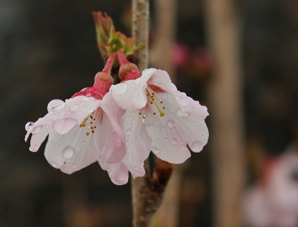 IMG桜雨1r