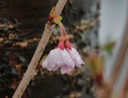 IMG桜雨r