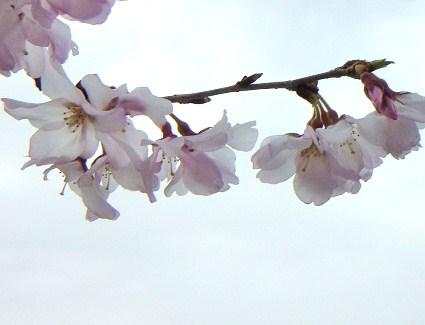 20100320桜の木p